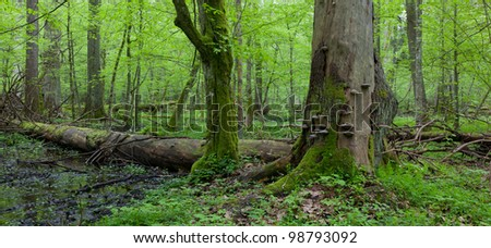 Wind broken spruce in foreground and moss wrapped hornbeam tree in springtime - stock photo