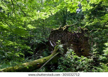 Wind fall over spruce tree in summer with roots broken among deciduous trees of Bialowieza Forest stand,Bialowieza Forest,Poland,Europe - stock photo