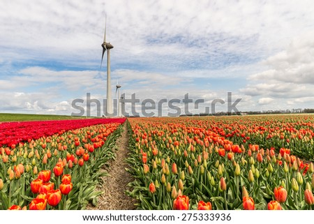 Wind mill in a field of red tulips - stock photo
