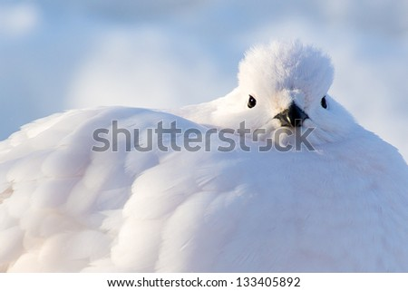 Wind-Up with a Ptarmigan