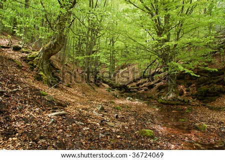 Winding stream in mysterious beech fores - stock photo