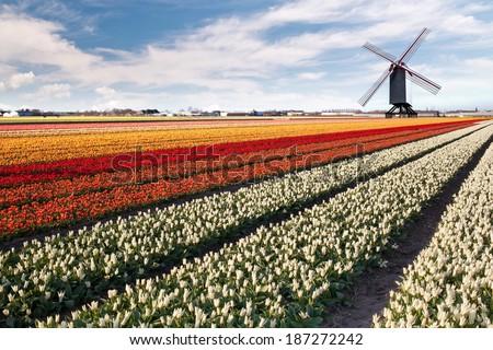 Windmill on field of tulips in Netherlands - stock photo