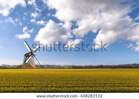 Windmill standing in the moddifle of the yellow daffodil field at Dutch spring time in Netherlands