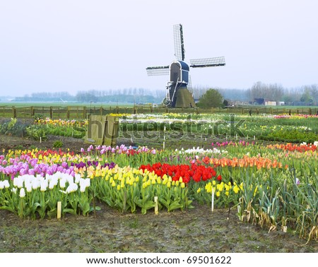 windmill with tulips near Offem, Netherlands - stock photo
