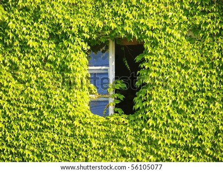 Window hidden in green ivy.