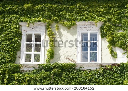 Windows with ivy in small moravian town Mikulov, Czech republic  - stock photo