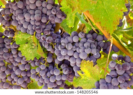 Wine Grape Cluster - stock photo