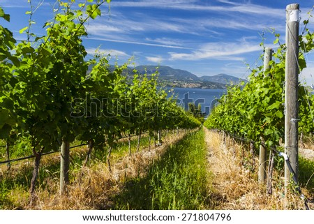 Wine Grape Vineyard on Sunny Summer Day - stock photo