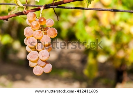 Wine grape with blurred natural background and space on right side - stock photo
