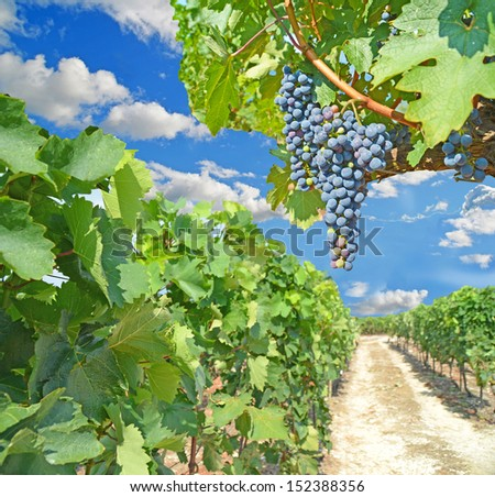 wine grapes blue sky vineyard automn - stock photo