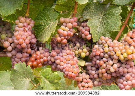 Wine Grapes Clustered Champagne Colored - stock photo