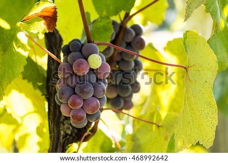 Wine grapes growing on a vine in a vineyard in east Tennessee