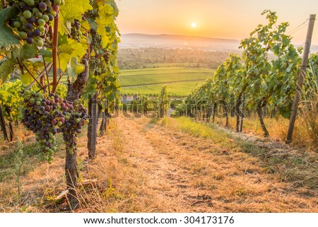 Wine grapes in a german vineyard in the sunrise