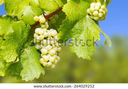 Wine grapes in the vineyard - stock photo
