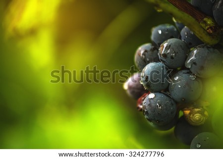 Wine grapes in vineyard after rain, close up detail with selective focus - stock photo