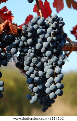 wine grapes on a sunny day - stock photo