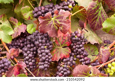Wine Grapes on the Vine Ready for Harvesting and Turning Leaves - stock photo