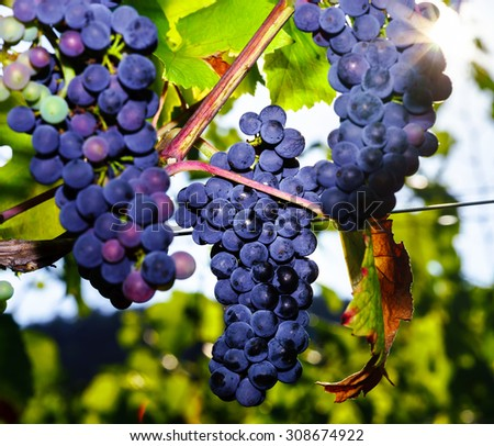 Wine grapes vineyard at sunset, autumn in France, natural concept