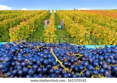 Wine harvest in autumn - stock photo