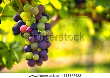 Wine Season - stock photo