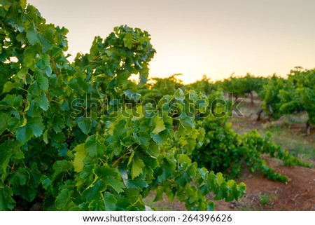 Wine valley at sunset at Barossa, South Australia - stock photo