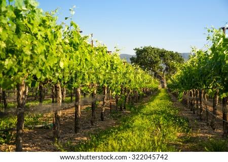 Wine Vineyard Grape Vines Leading to Oak Tree - stock photo
