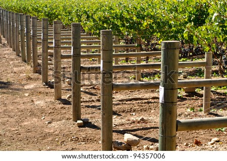 Wine Vineyard Grapes in a Row - stock photo