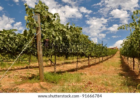 Wine Vineyard with Blue Sky and Clouds - stock photo