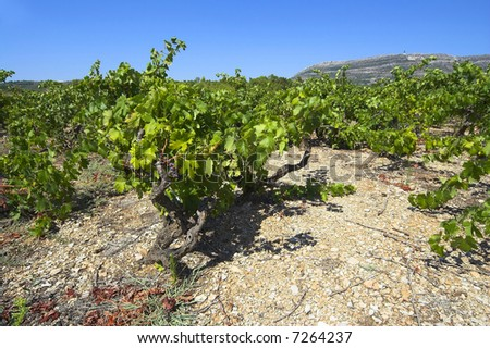 Wineyard at Peljesac penisula - stock photo