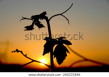 Wineyard at the sunset - stock photo