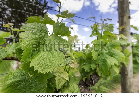 wineyard in spring - stock photo