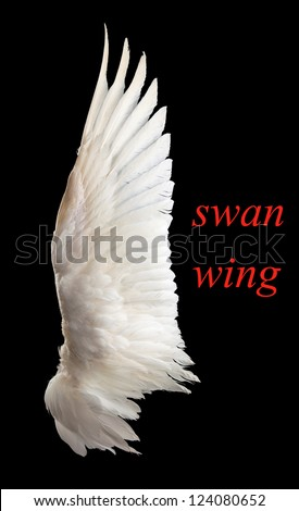 Wing white swan close-up. Isolation. On a black background. - stock photo
