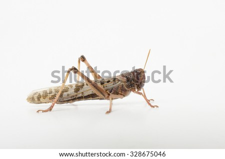 winged adult desert locust side view (live reptile food) - stock photo