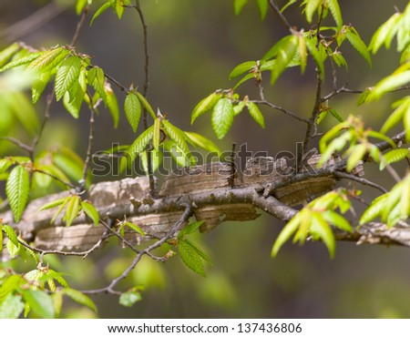 Winged Elm (Ulmus alata) in early spring - stock photo