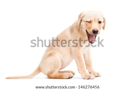Winking Labrador Retriever puppy isolated on a white background - stock photo