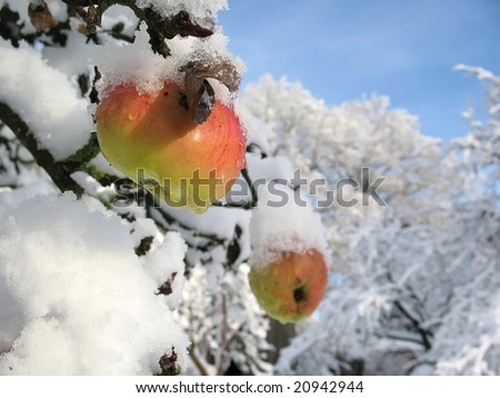 Winter apple - stock photo