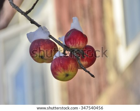 Winter apples tree - stock photo