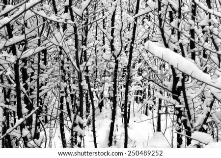 Winter birch trees in snow - stock photo