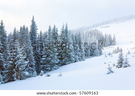 winter calm dull mountain landscape with fir trees  on slope (Kukol Mount, Carpathian Mountains, Ukraine)