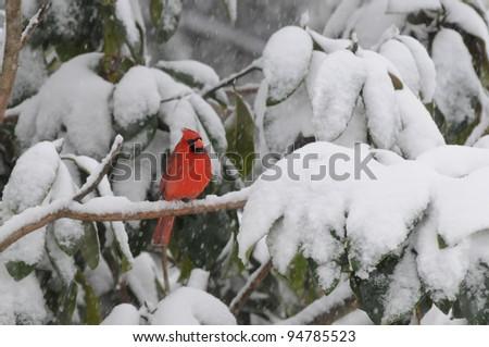 Winter cardinal - stock photo