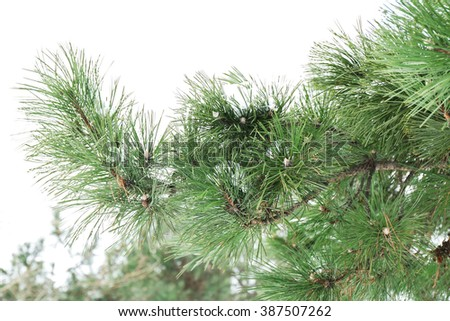 Winter concept. Branch of pine tree is covered with snow, close up - stock photo