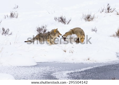 Winter coyote in snowy Yellowstone National Park. - stock photo