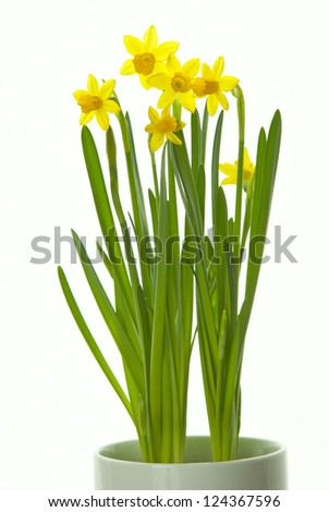 winter daffodils isolated on white