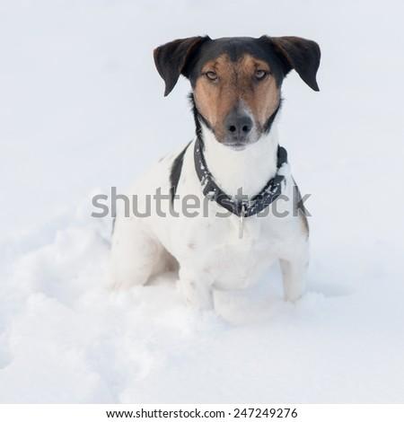 Winter dog portrait - stock photo