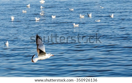 Winter Escape Seagulls from Siberia fly over sea in weather fine day.