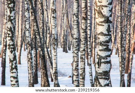 Winter evening in the birch forest in Russia - stock photo