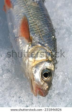 Winter fishing. freshly caught river fish - stock photo
