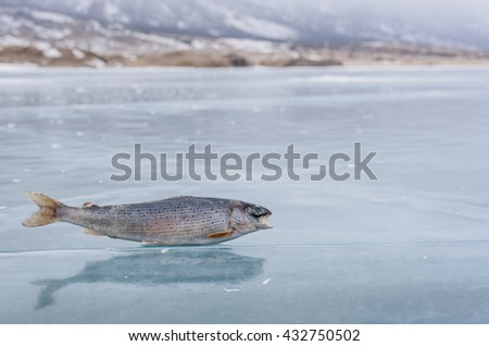 Winter fishing on Lake Baikal. Catching perch and grayling in the clean and beautiful place! The deepest freshwater lake on the planet. Fish body was retouched. - stock photo