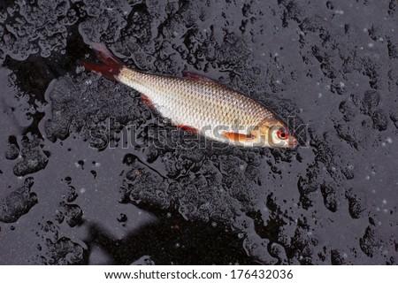 winter fishing. perch fish on black ice. - stock photo
