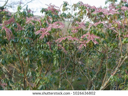 Pieris Shrub Stock Images Royalty Free Images Vectors